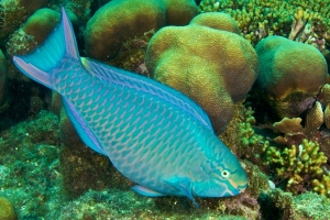 15-queen-parrotfish-eating-algae-off-the-reef-in-Curaçao-photo-by-Stan-Bysshe-600x400