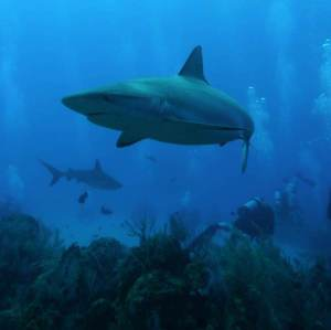 4-Peaceful-coexistance-of-Sharks-and-SCUBA-divers-in-Turks-and-Caicos-Photo-by-Kristen-Marhaver-600x599